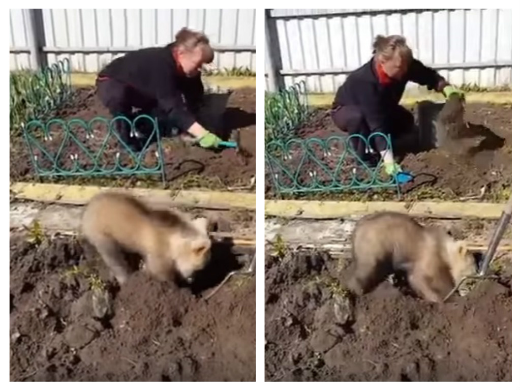Here's a bear cub gardening, because animals make the best helpers