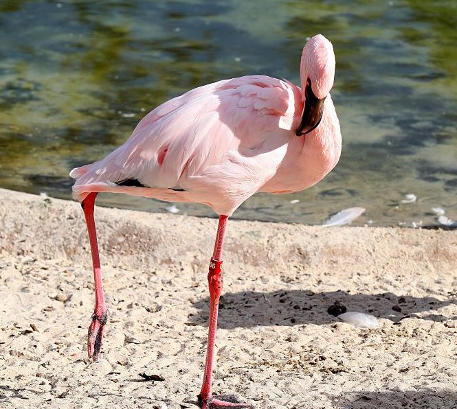 So, this is why flamingos stand on one leg