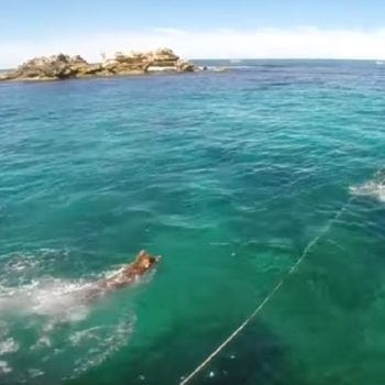 This dog jumped off a boat to play with a wild seal, because dogs are gonna dog