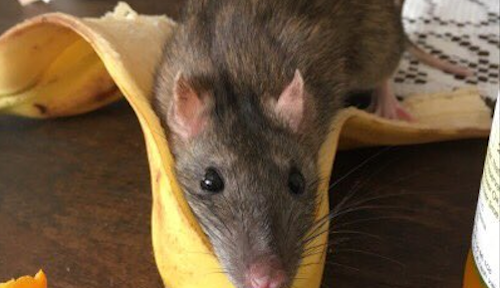 This pet rat loves cuddling in a banana peel, and it's the happy thing we need to see today