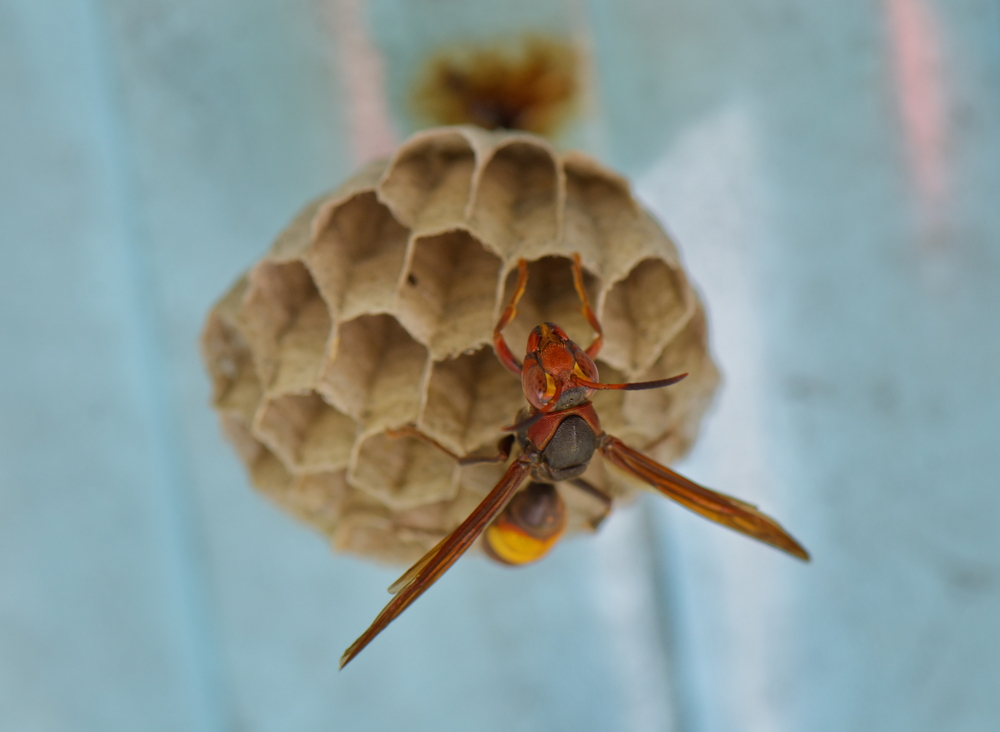 Please don't put these wasp nests in your vagina, no matter what you read