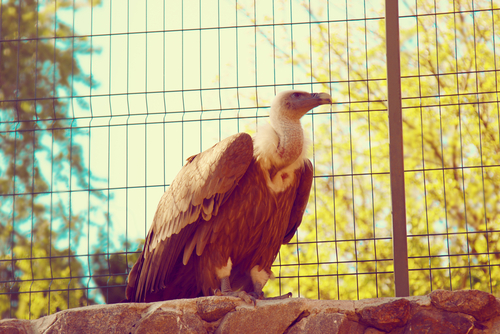 This same-sex vulture couple is fathering a baby bird together, and love is real