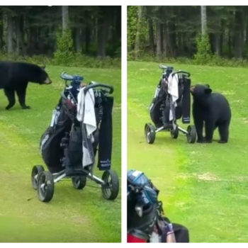This black bear crashed a golf game and casually stole some stuff