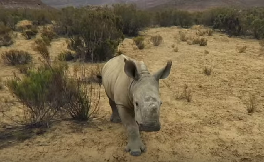 OMG! This adorable baby rhino is super pumped about going for a walk