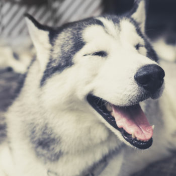 Someone shaved their Husky from the neck-down, and the picture is going viral