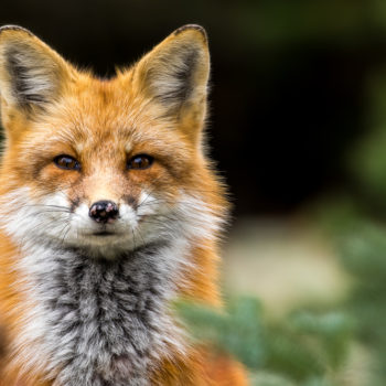 The U.K. has gotten totally obsessed with this super-friendly fox