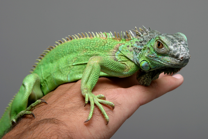 Here's why you shouldn't cuddle with an iguana when on your period