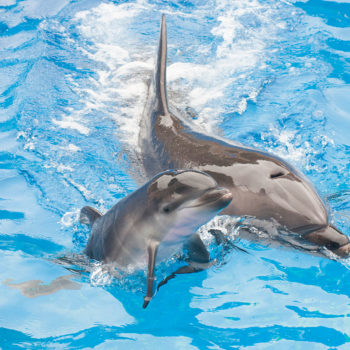 """Male dolphins are """"peacocking"""" to pick up females by wearing sponge hats"""