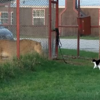 Ah! This very brave house cat faced off with a lion, and it's stressing us out