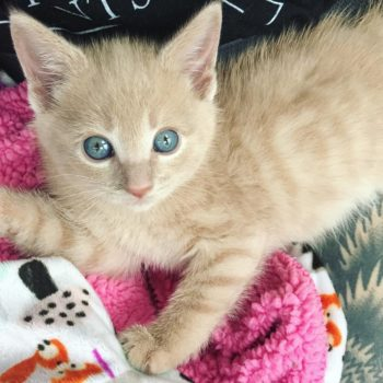 This kitten going through rehab for her paralyzed legs is the sad/happy story you need right meow