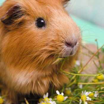 A computer is frantically giving guinea pigs the cutest names ever