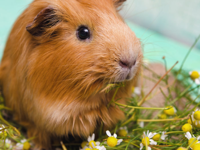 A Computer Is Frantically Giving Guinea Pigs The Cutest