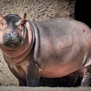Here's an update on baby hippo Fiona, just in case you don't follow the Cincinnati Zoo on Twitter