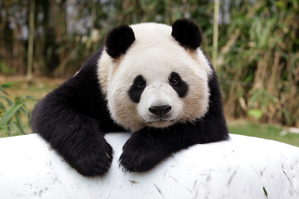 This panda caretaker who dresses like a panda to play with cubs has the best job in the world