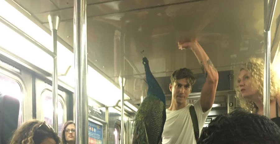 Man carries peacock on NYC subway, no one gives it a second thought