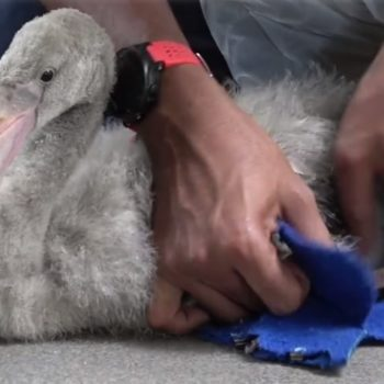 This tiny flamingo strolling around in a pair of blue booties is just as cute as it sounds
