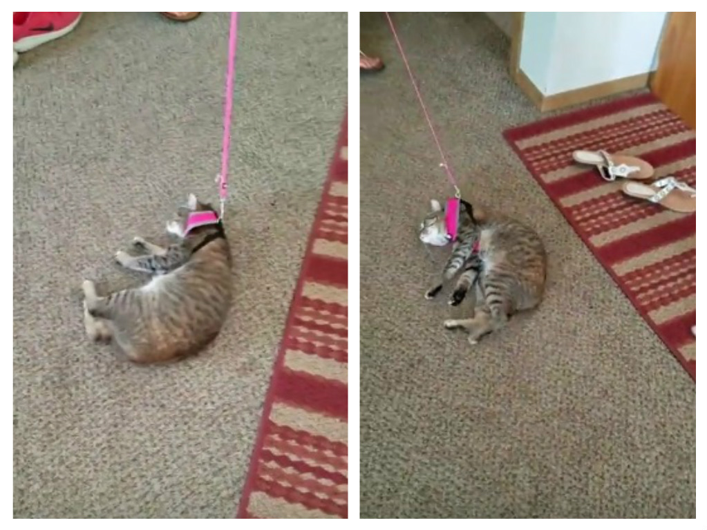 This cat refuses to walk in a harness, because you really can't make cats do anything