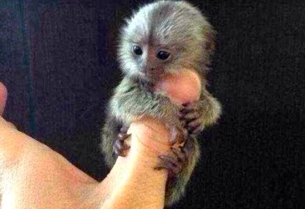 People are paying $4,500 for the adorable — but illegal — thumb-sized monkeys