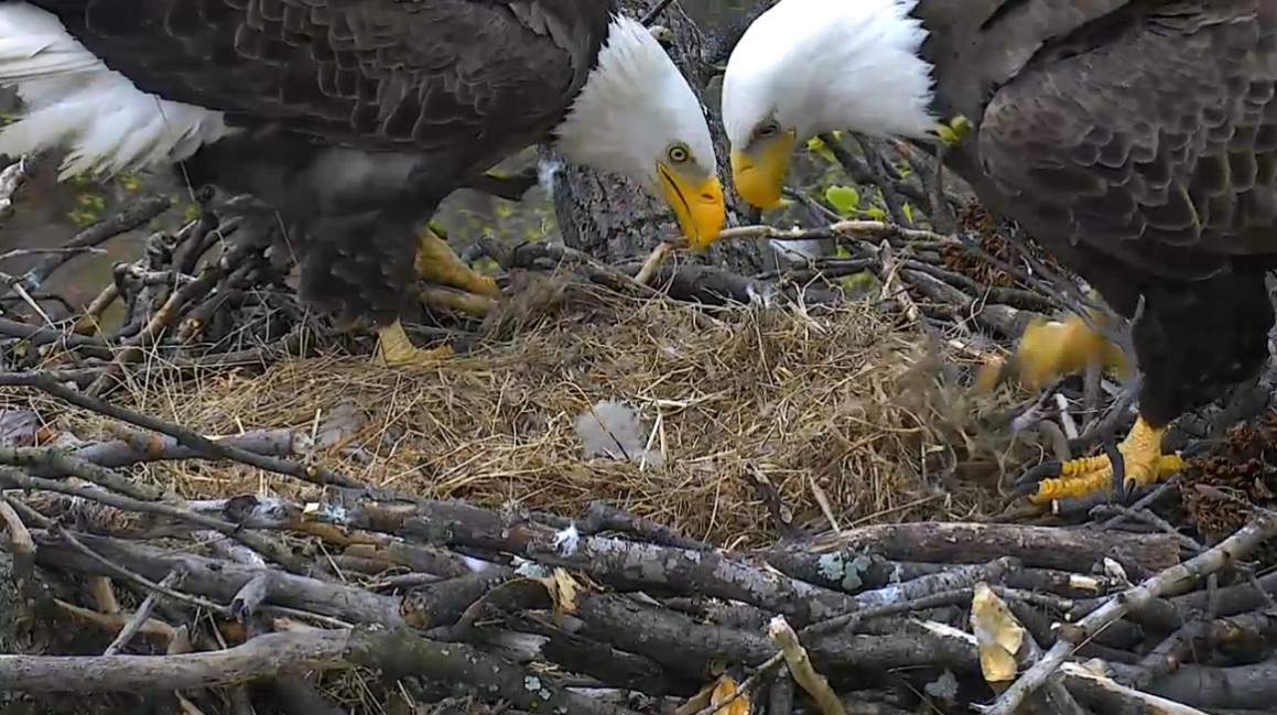 Watching this tiny bald eagle hatch is the perfect way to ...