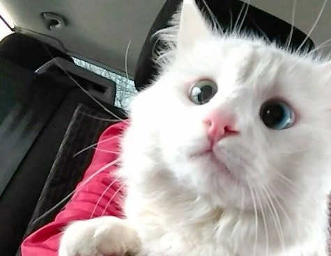 We think this snowy cat with amazing eyes might be magical
