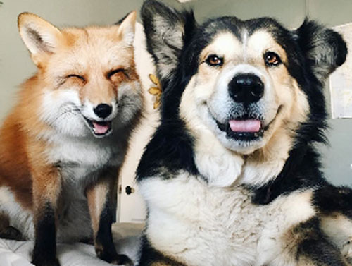 There's a real life fox and the hound and they are here to make you happy cry