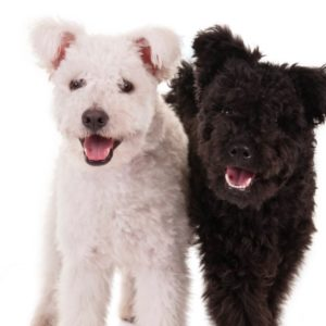 We're obsessed with the Pumi, the adorable, fluffy new dog breed