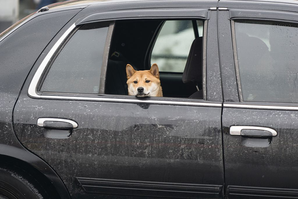 Science has figured out why dogs love to stick their heads out car windows