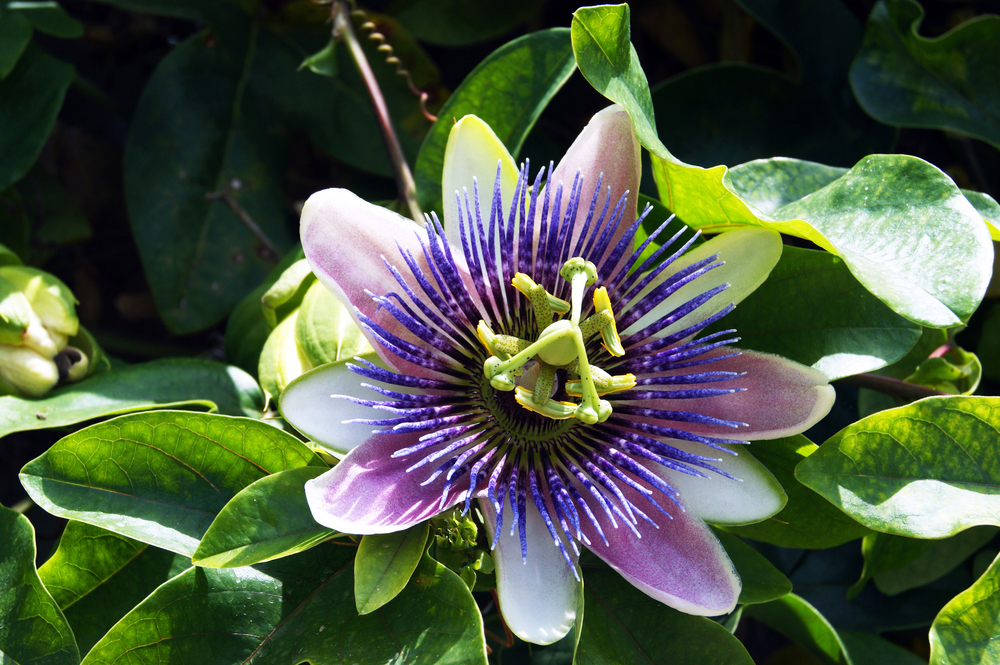 how passion flower serum helped with my anxiety