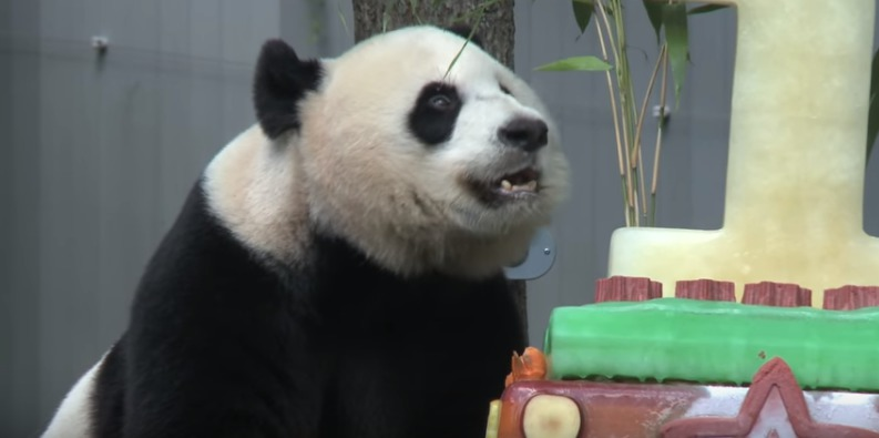 panda checking out cake