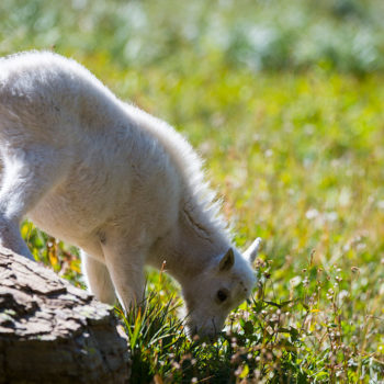 So, goat yoga is apparently a real thing and we can't seem to look away