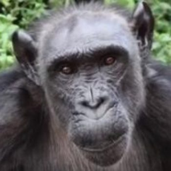 This rescue chimp made a purse out of leaves to carry her snacks in and is basically our new hero