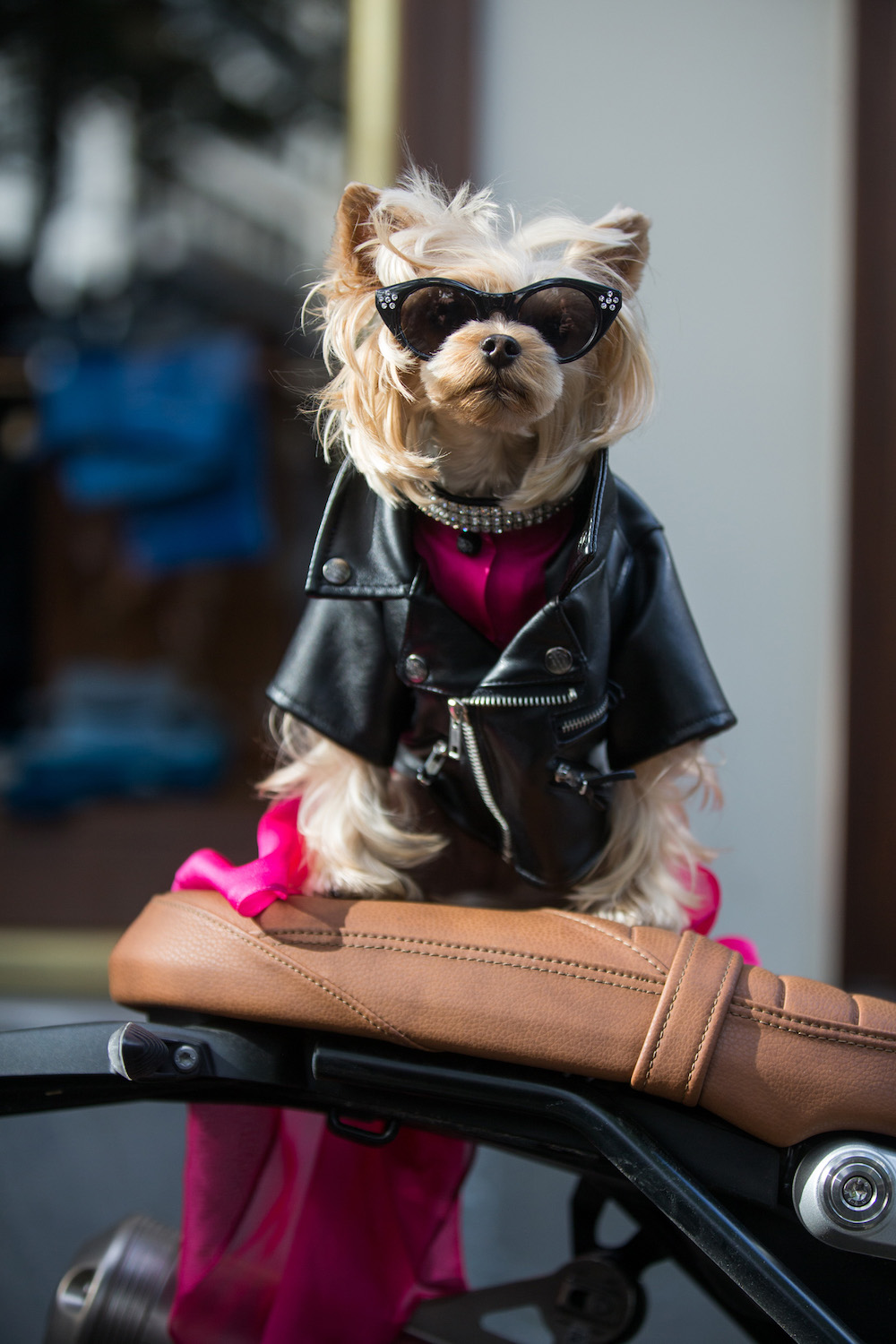 PARIS, FRANCE - OCTOBER 02:  Little Lola Sunshine the dog wears a leather jacket, black sunglasses, and a pink dress outside the Valentino show on October 2, 2016 in Paris, France.  (Photo by Melodie Jeng/Getty Images)