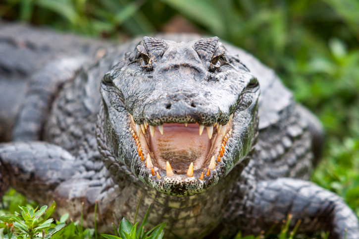 Crocodile with a big -open- mouth.