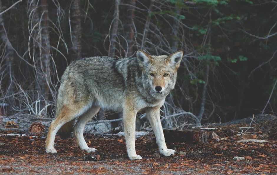 This woman mistakenly rescued a coyote because she thought it was a lost dog