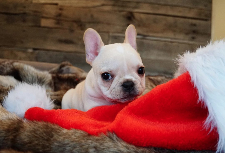 These Puppies Dressed Up Like Santa For A Christmas Photoshoot And