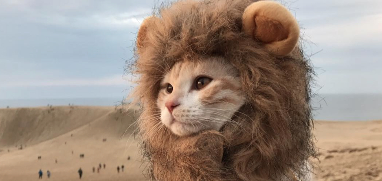 This kitten is dressed up as a lion at the beach because he knows how to live his best life