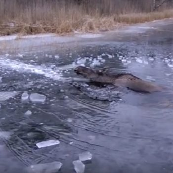 These people brilliantly saved a moose trapped in ice, and they're officially our heroes