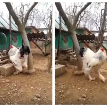 This unbelievably large chicken is really freaking Twitter out right now