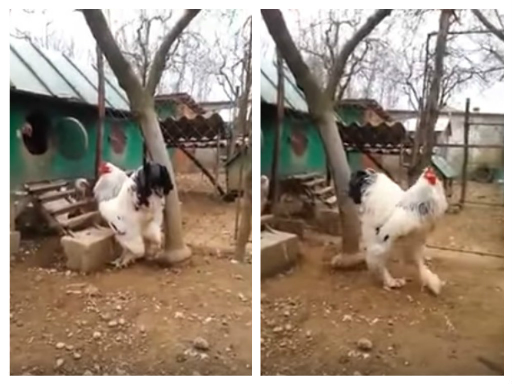 this unbelievably large chicken is really freaking twitter