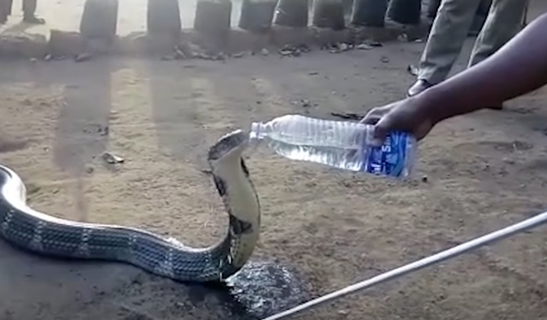 king-cobra-drinking-water