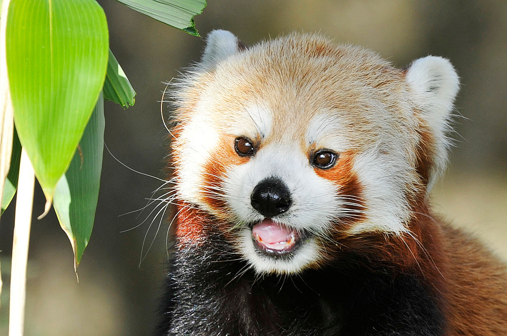 This red panda tried to scare a rock and failed in the cutest way ever