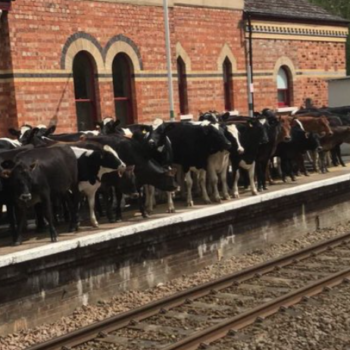 These cows look like they're waiting for a train, and there are piles of puns happening