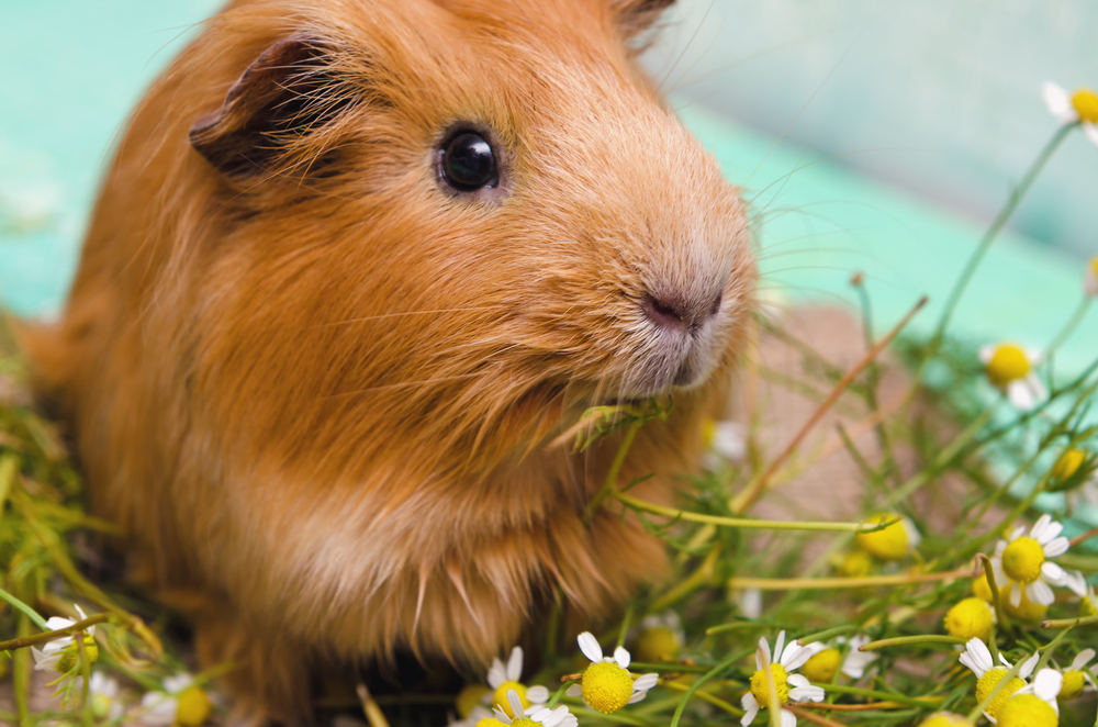 The Guinea Pig Forum