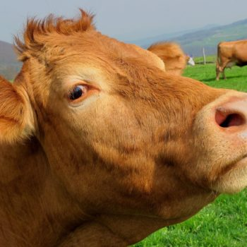 You will never believe how many Americans think chocolate milk comes from brown cows
