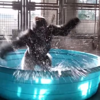 This gorilla breakdancing in a pool looks like CGI, but it's 100% real life