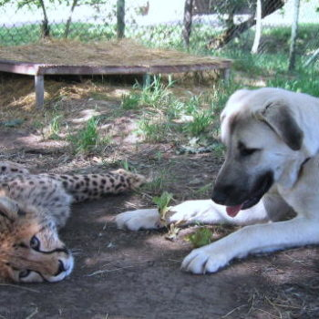Cheetahs have their own therapy dogs in zoos, and we're literally passing out over this cuteness discovery