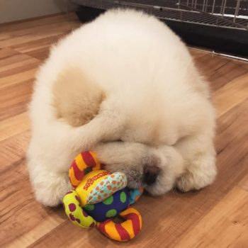 This chow chow puppy has become an internet sensation, and prepare to have a cuteness-induced heart attack