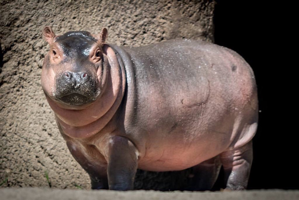 Here S An Update On Baby Hippo Fiona Just In Case You Don