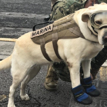 This rescue pup named Frida is working to help Mexico City earthquake survivors