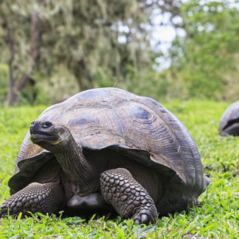 This gay tortoise is the oldest living land animal on earth